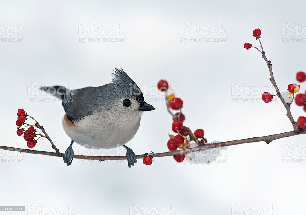 Tufted Titmouse and Berries​​​ foto