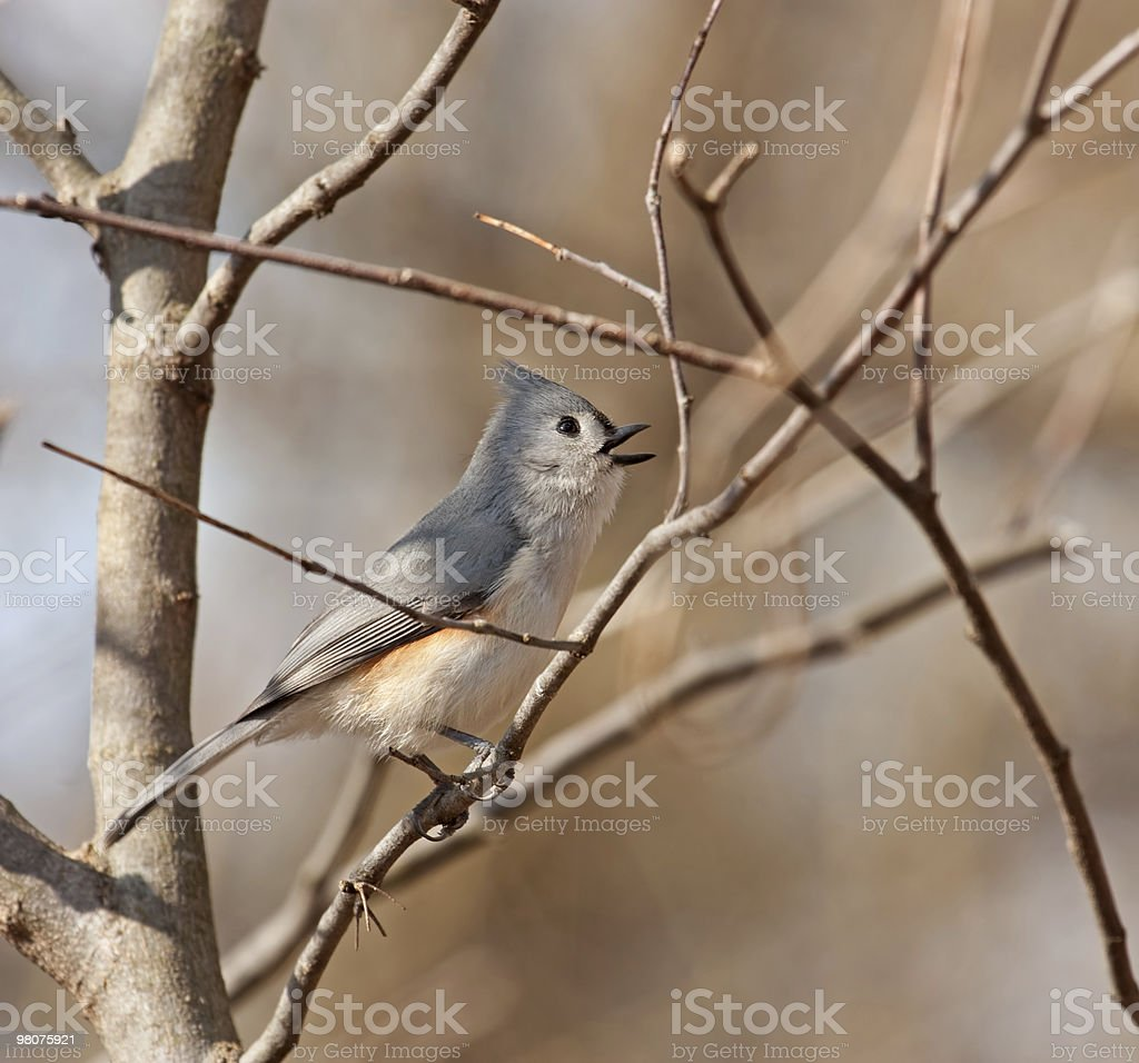 Tufted Titmouse, Baeolophus bicolor royalty-free stock photo