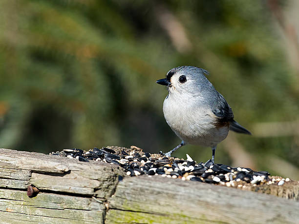 Tufted Titmouse Eating Seed stock photo
