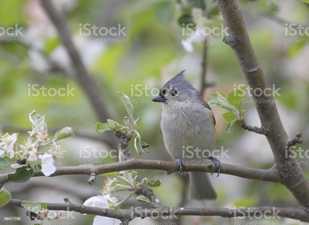 Tufted Titmouse In An Apple Tree royalty-free stock photo