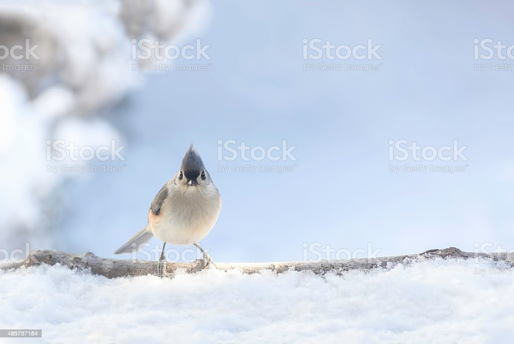 Tufted titmouse in snow stock photo