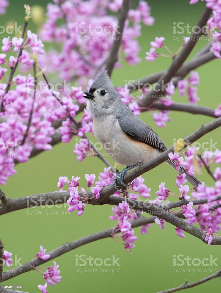 Tufted Titmouse, in spring stock photo