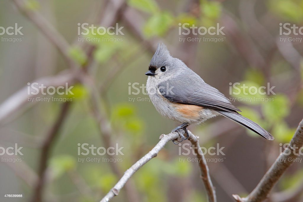 Tufted Titmouse in Spring stock photo