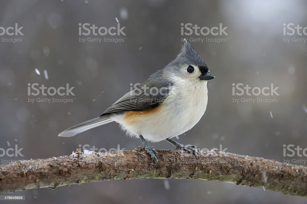 Tufted Titmouse in the Snow stock photo