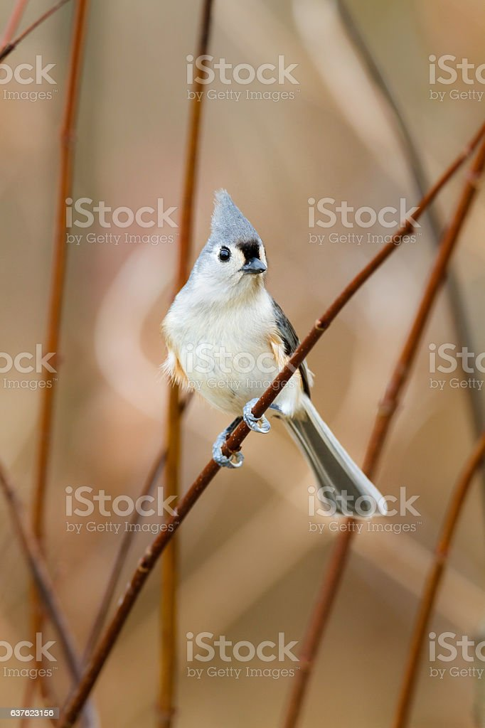 Tufted Titmouse in thicket stock photo
