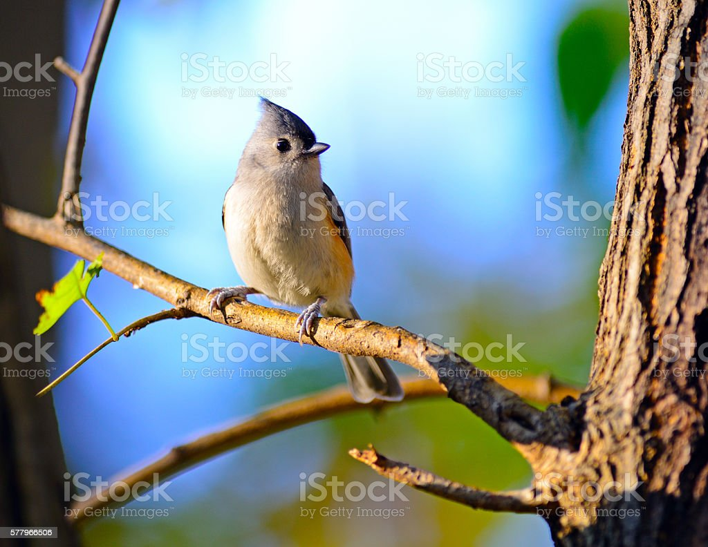 Tufted Titmouse in Tree stock photo