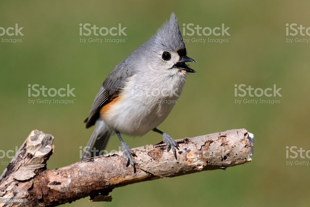 Tufted Titmouse (baeolophus bicolor) on a log with a green background stock photo
