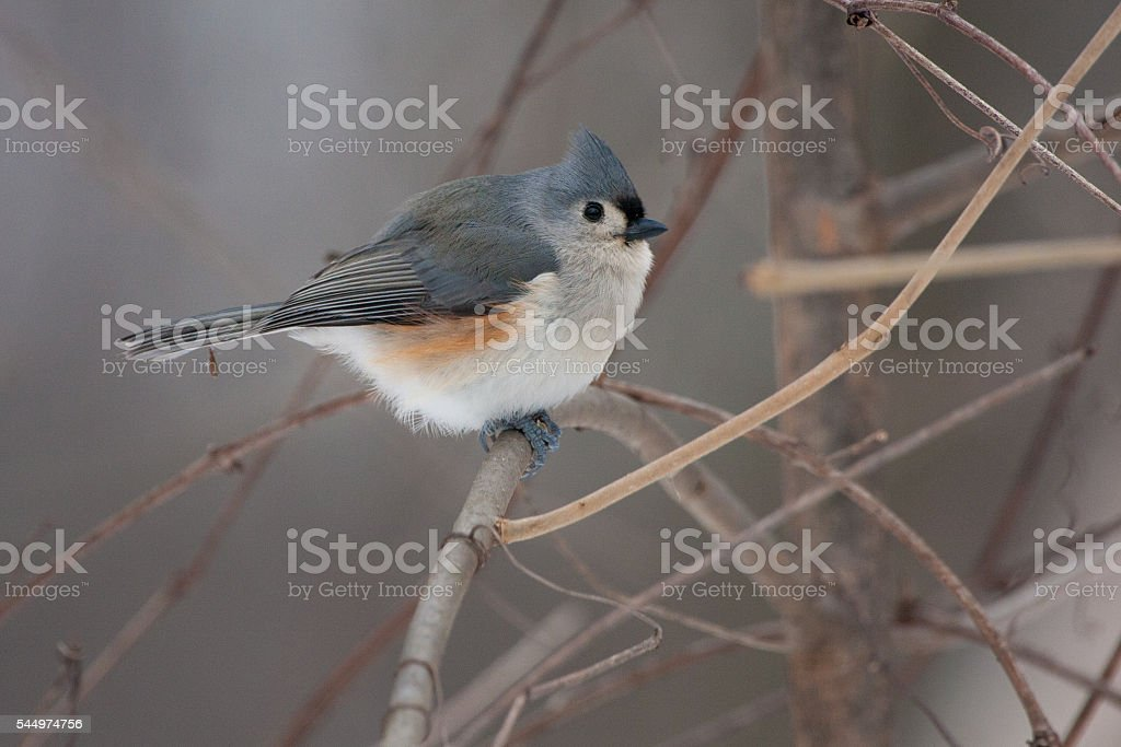 Tufted Titmouse on a Natural Perch stock photo