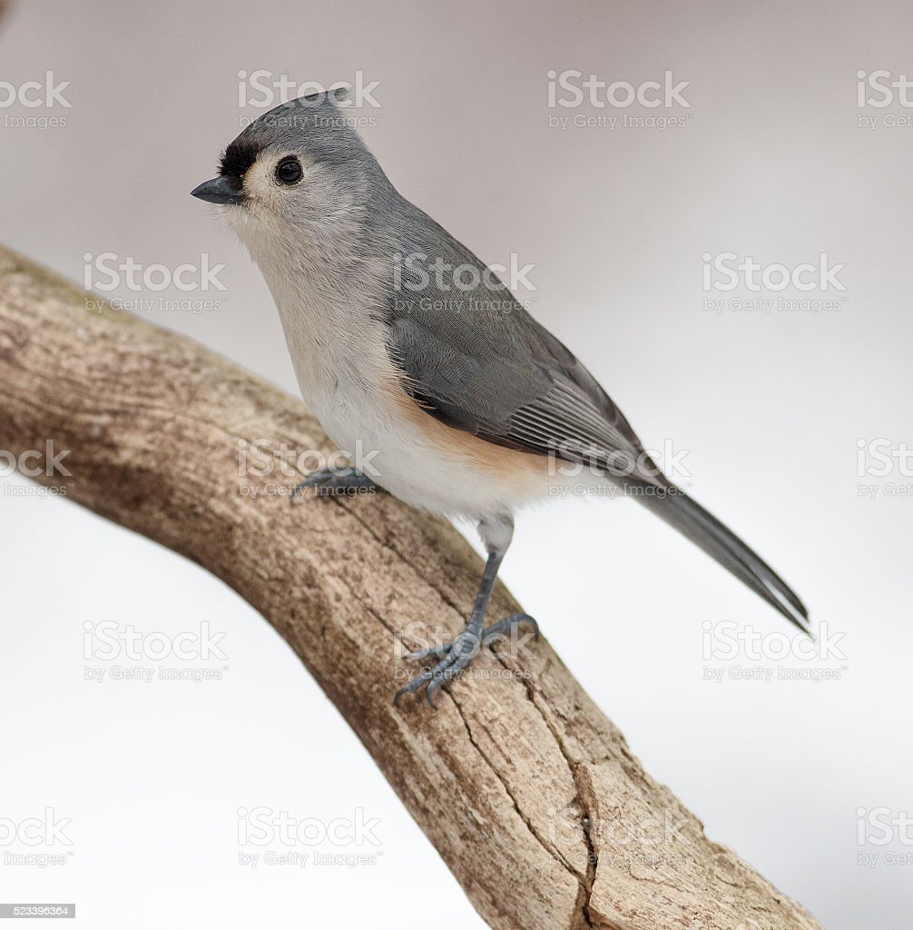 Tufted Titmouse on a Natural Rotted Wood Perch stock photo