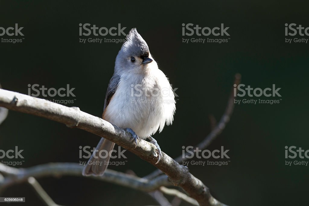 Tufted Titmouse on branch stock photo