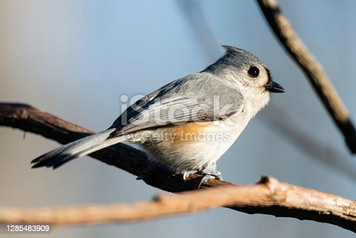 The tufted titmouse (Baeolophus bicolor) is a small songbird from North America, a species in the tit and chickadee family (Paridae)