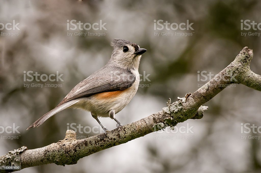 Tufted Titmouse (Baeolophus bicolor) stock photo