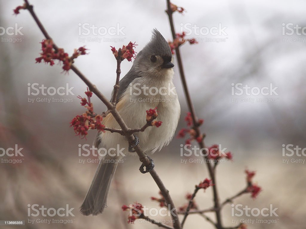 Tufted titmouse (Baeolophus bicolor) with Red Buds stock photo