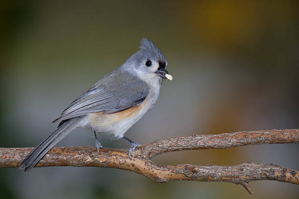 Tufted Titmouse (Baeolophus bicolor) With Seed In Beak stock photo