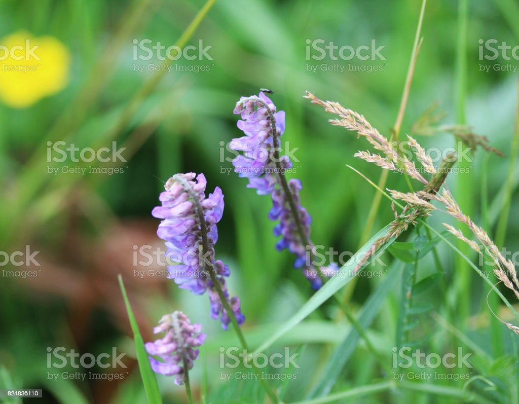 tufted vetch (Vicia cracca) stock photo