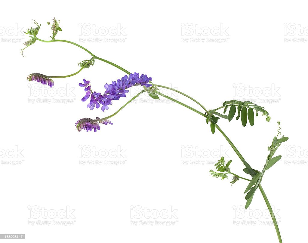 Tufted vetch, Vicia cracca isolated on white background stock photo