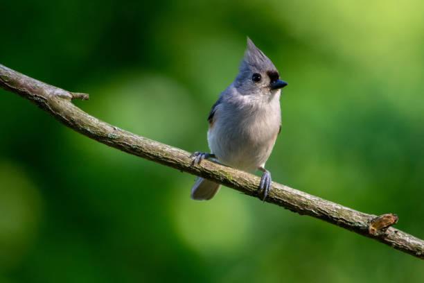 getufte-titmouse op een zonnige ochtend - zangvogel stockfoto's en -beelden