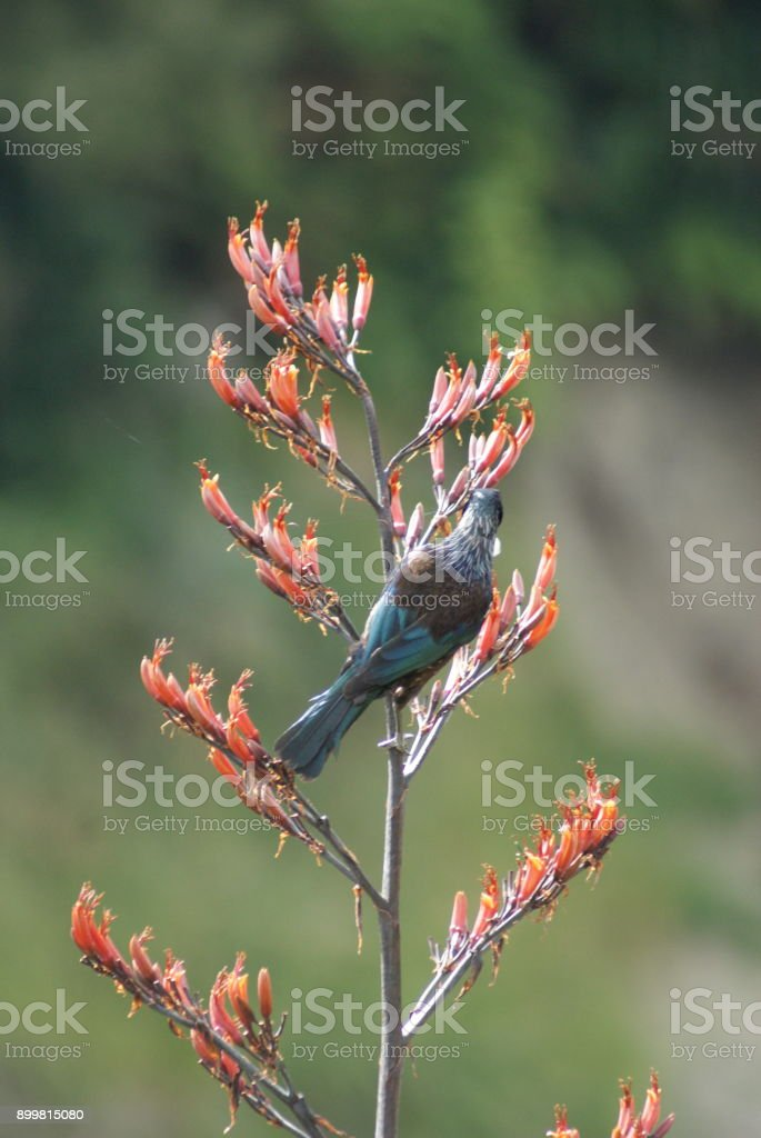 Tui bird eating from a flower stock photo