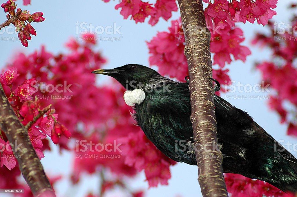 Tui Bird in Cherry Tree royalty-free stock photo