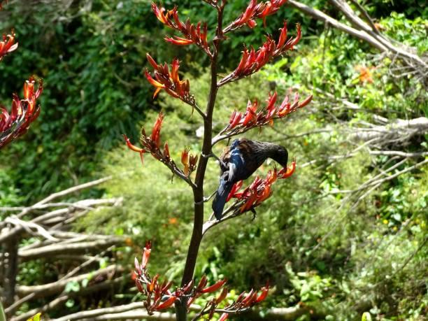 Tui Bird in New Zealand stock photo