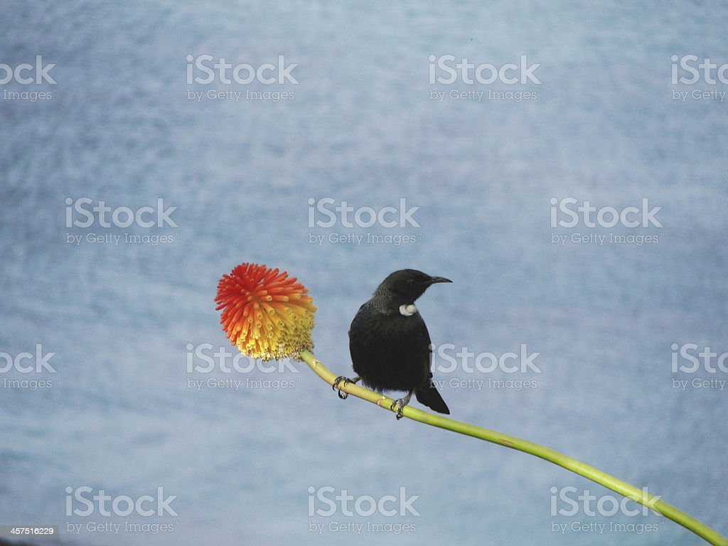 Tui bird on a Torch Lily stock photo