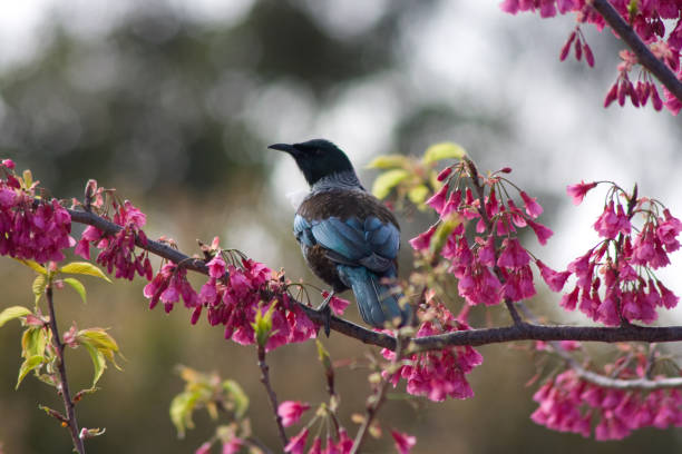 Tui in Brazilian Cherry Tree stock photo