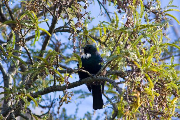 Tui in Kowhai Tree stock photo