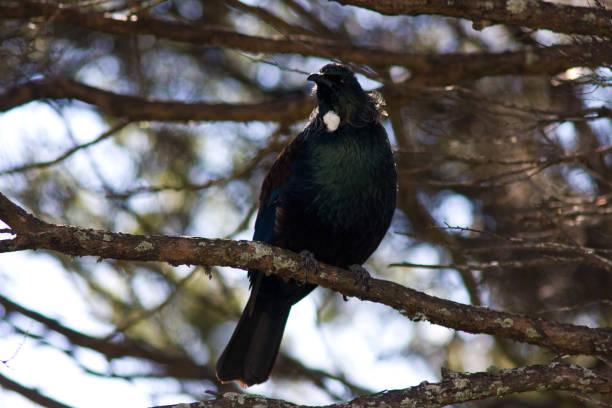 Tui or Parson's Bird stock photo