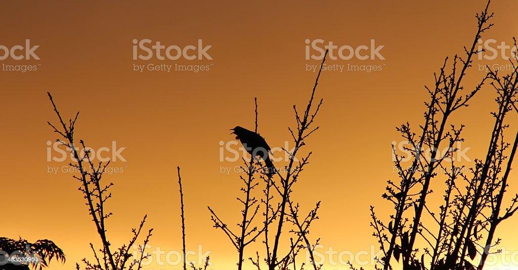 Tui singing in the sunrise stock photo