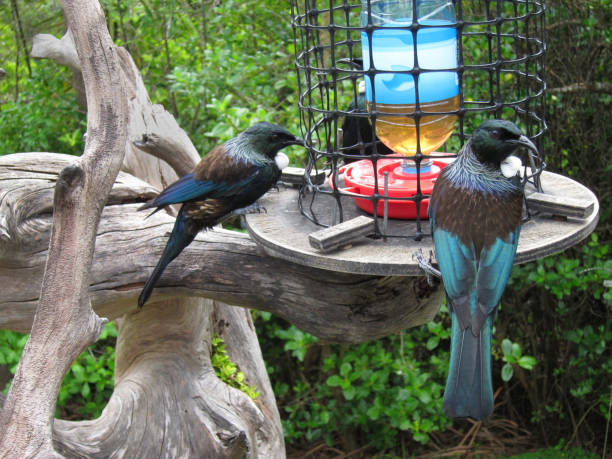 Tuis at the Feeder stock photo