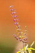 Tulasi Flower Tulsi leaf It is used as Ayurveda in traditional medicine, herbal orTulsi green tea, in India Asia