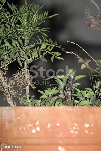 tulasi plant.Ocimum tenuiflorum plant in India.