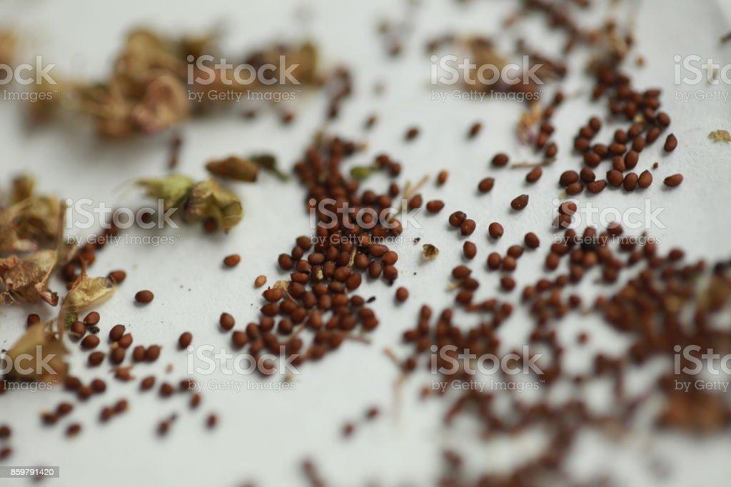 tulasi seeds stock photo