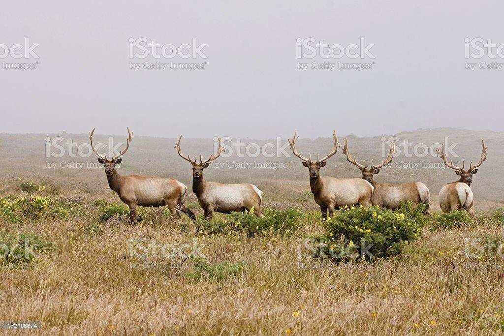Tule Elk at Point Reyes National Seashore stock photo