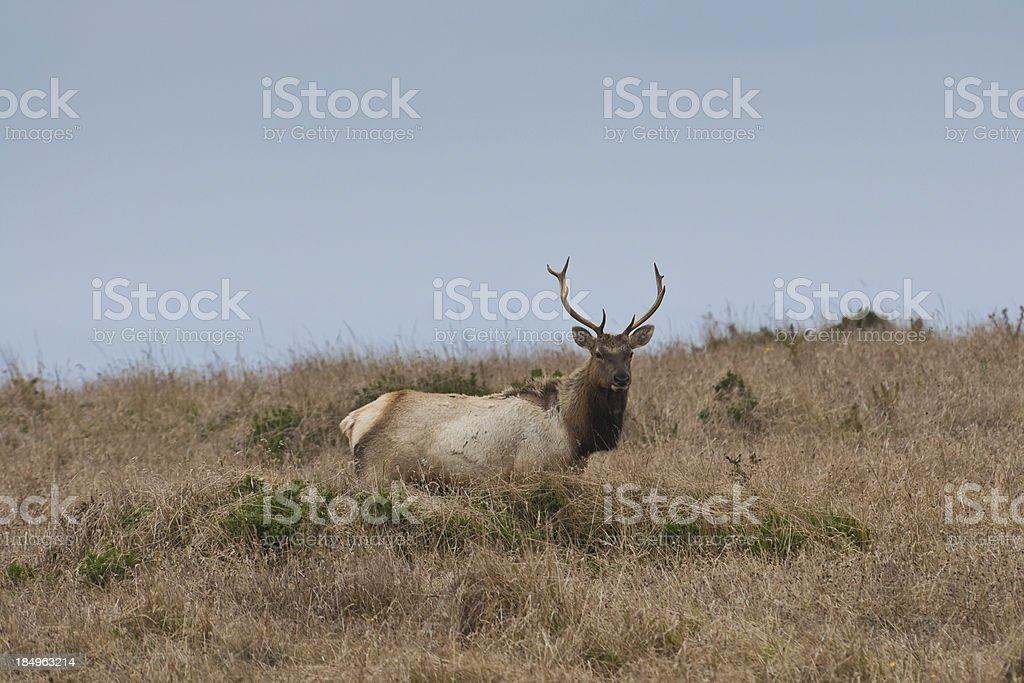 Tule Elk Bull Standing in a Meadow stock photo