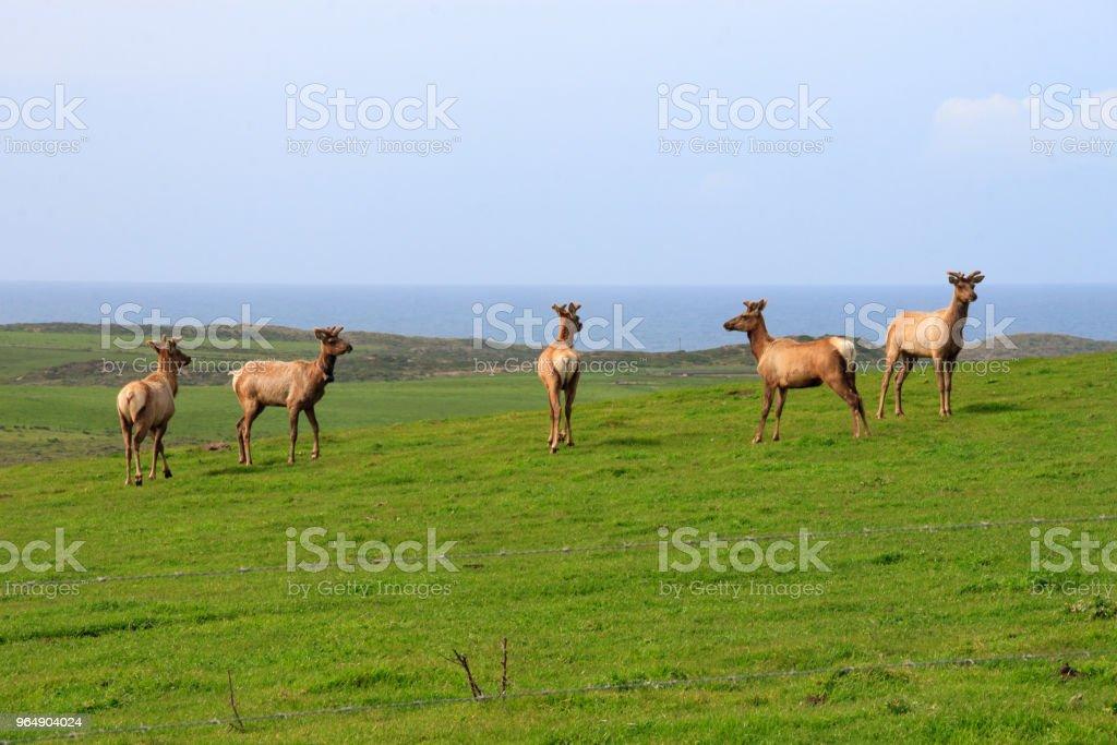 Tule Elk royalty-free stock photo