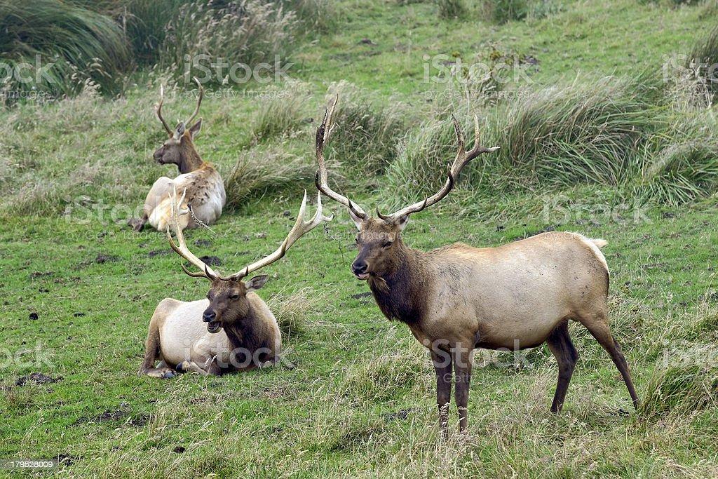 Tule Elks royalty-free stock photo