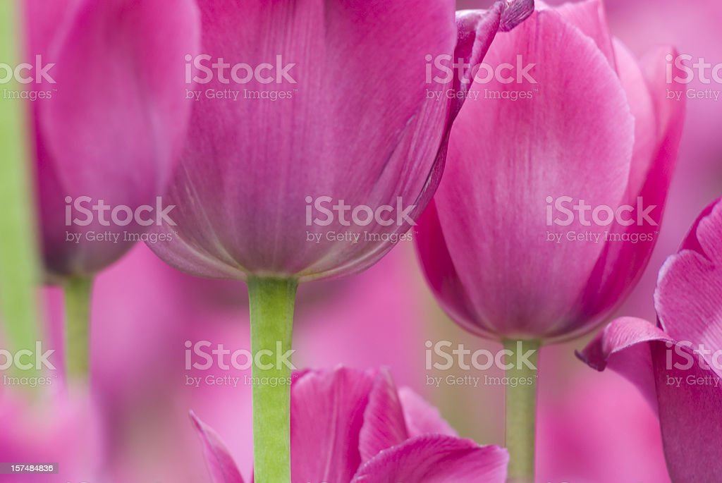 Tulip abstract, 'Don Quichotte' cultivar - III royalty-free stock photo