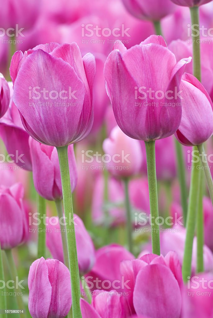 Tulip abstract, 'Don Quichotte' cultivar - XI stock photo