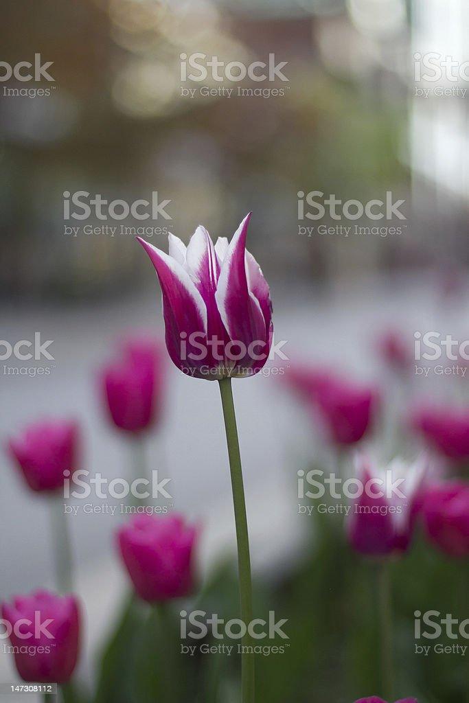 Tulip Amongst Others royalty-free stock photo