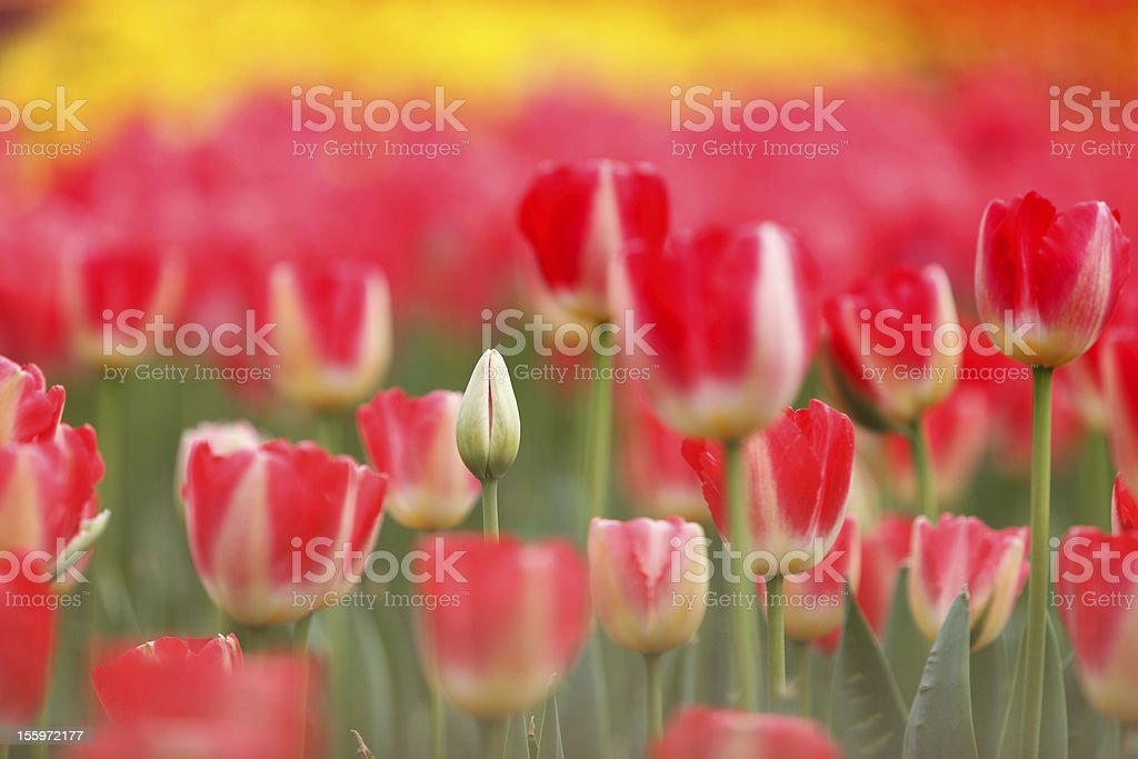 Tulip and bud royalty-free stock photo