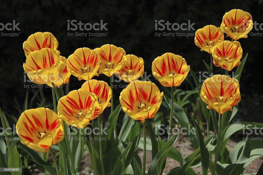 Tulip arrangement stock photo