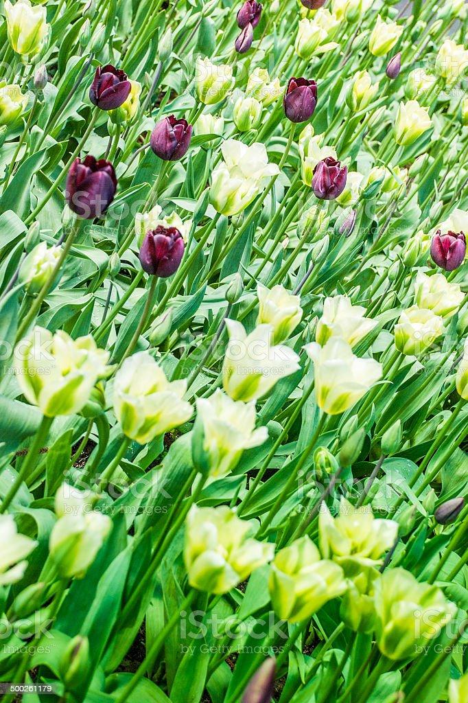 Tulip Background stock photo