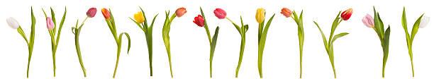 Tulip banner stock photo