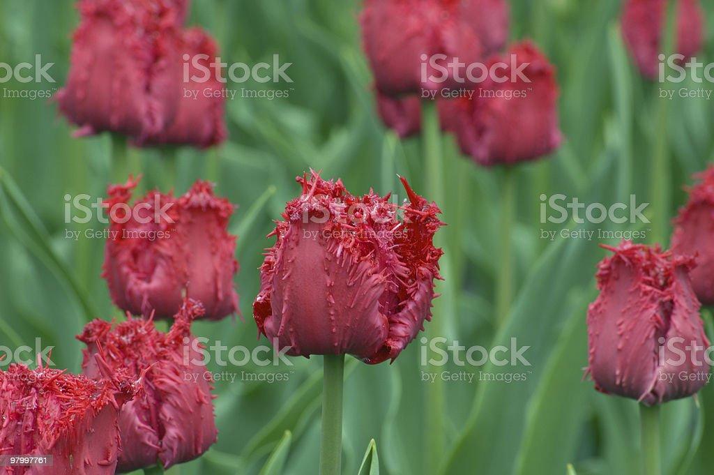 Tulip  Barbados royalty-free stock photo