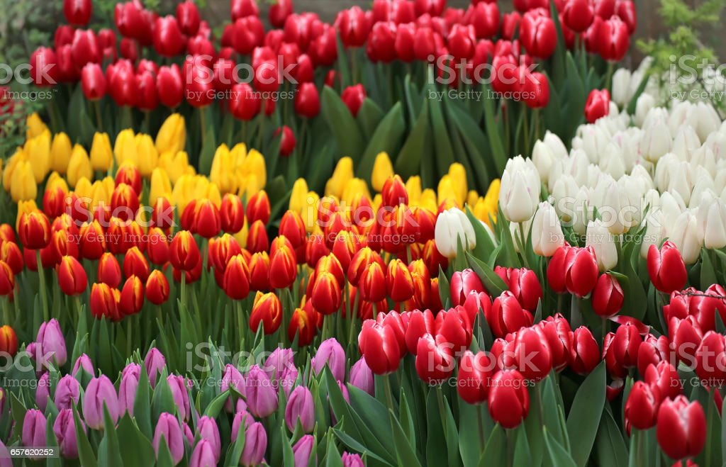 Tulip. Beautiful bouquet of tulips stock photo
