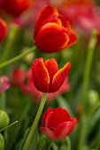 Tulip. Beautiful bouquet of tulips.