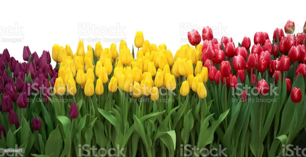 Tulip. Beautiful Red tulips isolated on white background stock photo