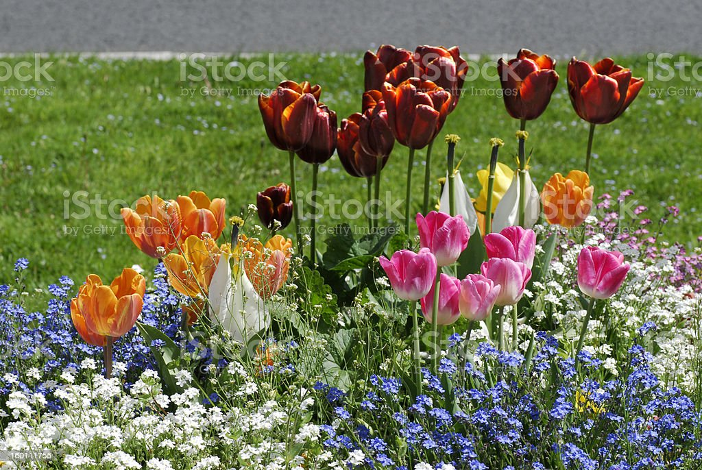 tulip bed royalty-free stock photo