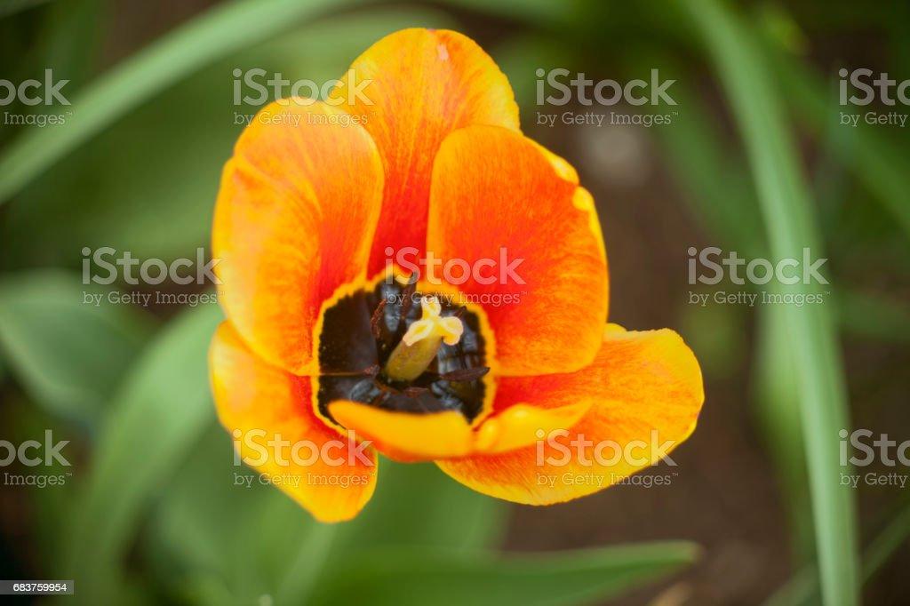 Tulip Bienvenue during flowering stock photo